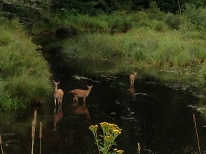 deer-west-fork-chippewa-river
