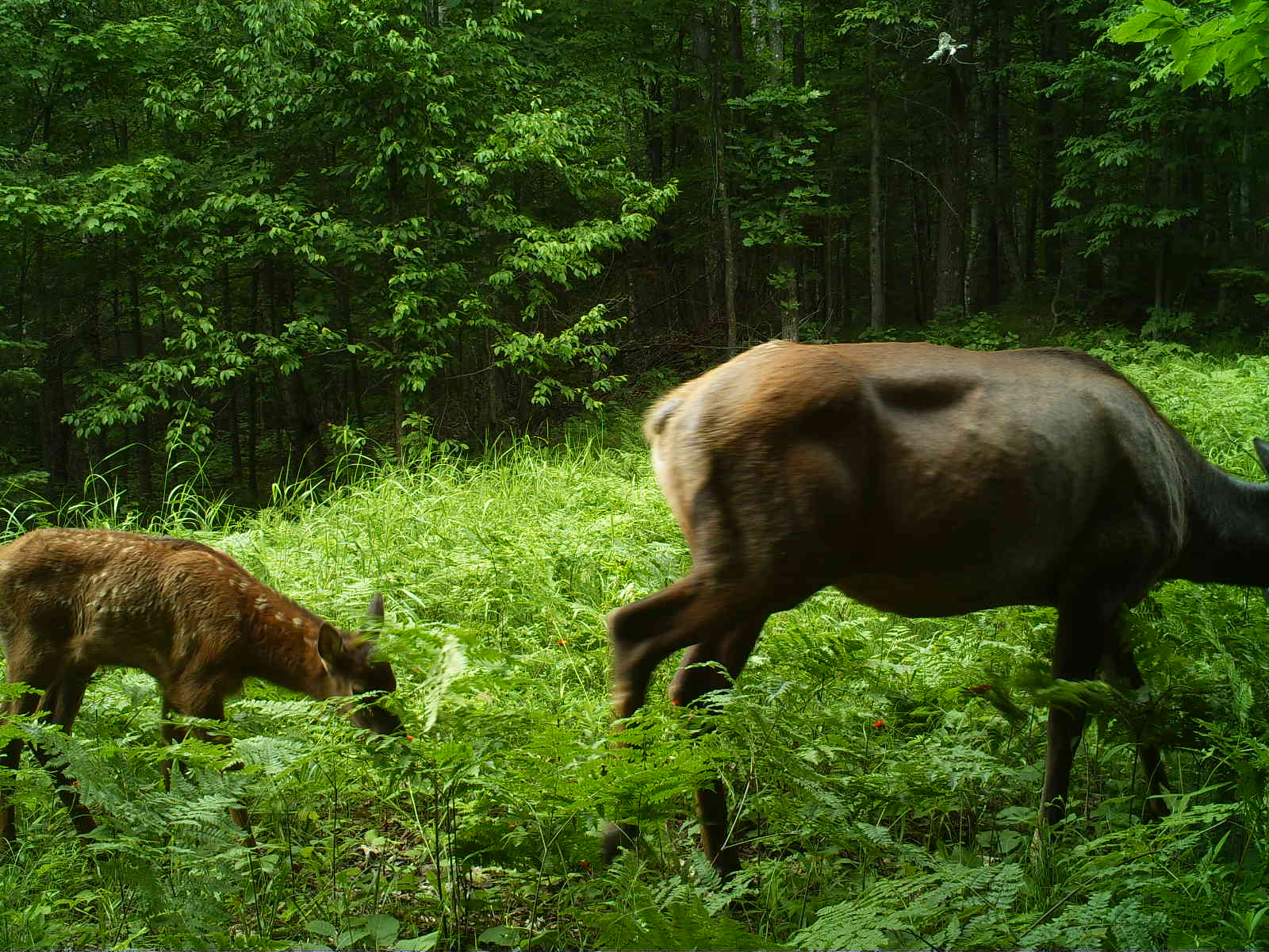 July 2017 wisconsin elk herd update clam lake wisconsin for Kentucky fish and wildlife phone number