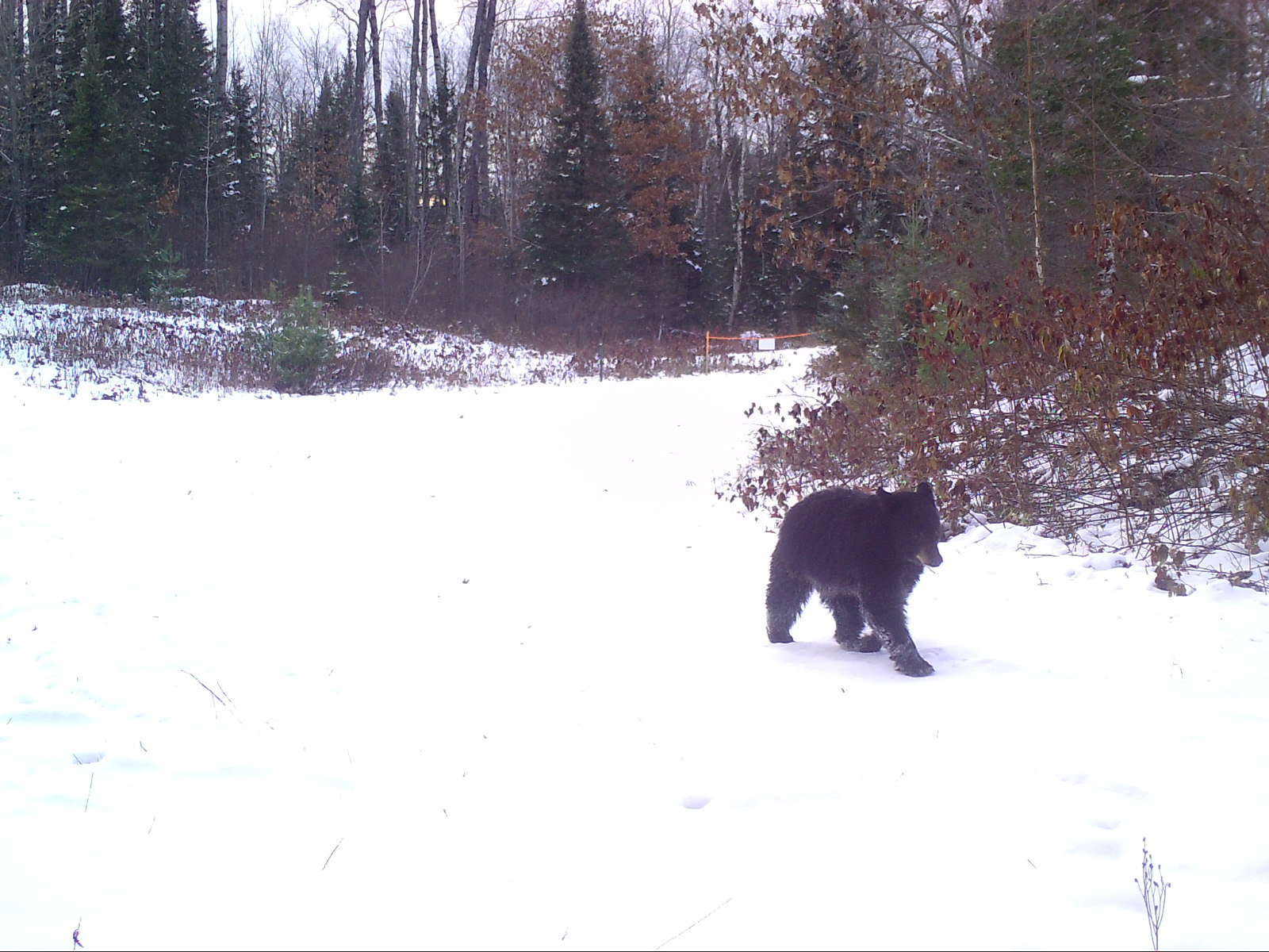 Clam Lake, WI Winter Bear in Snow