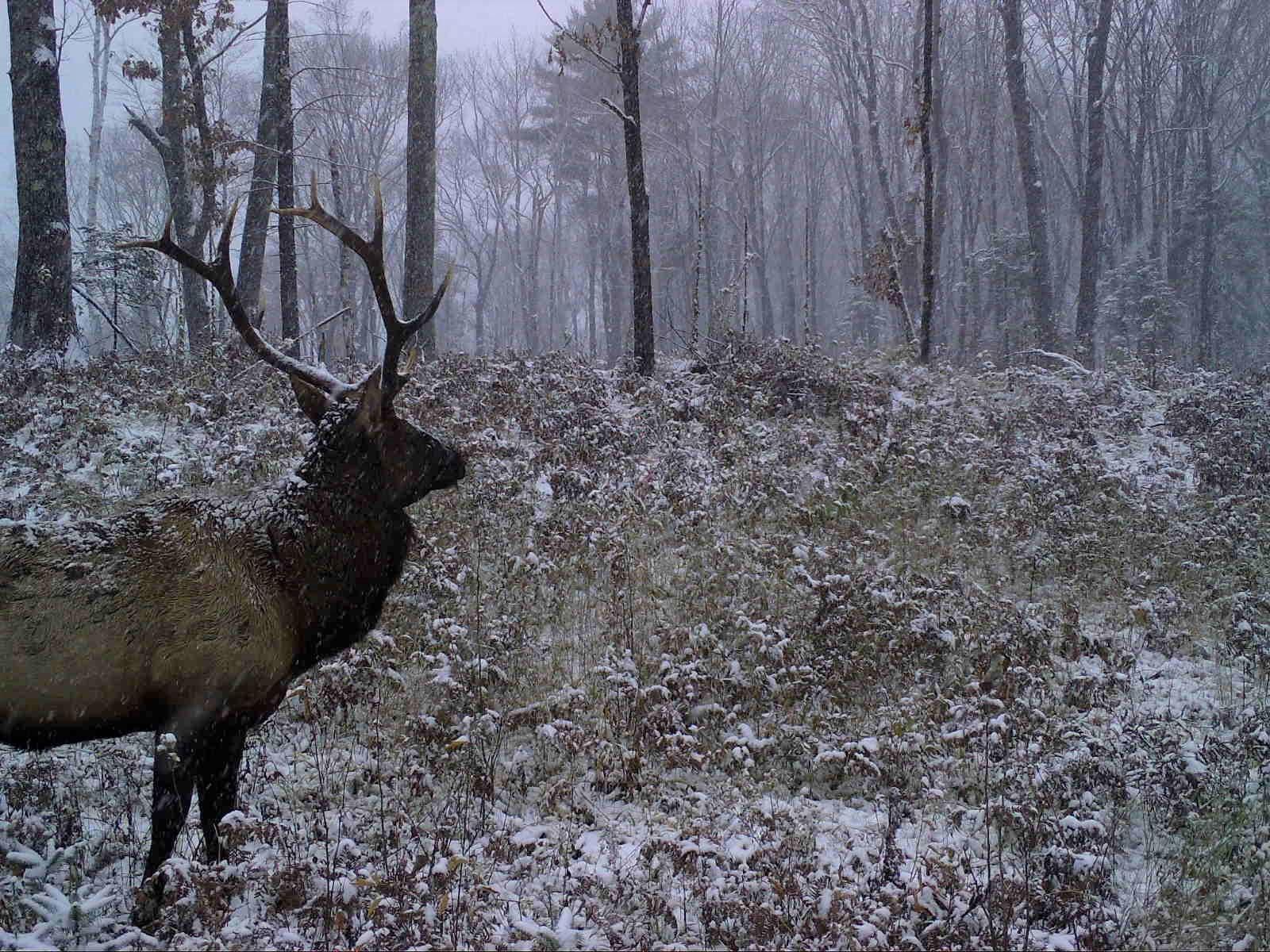 Clam Lake, WI Bull Elk Winter