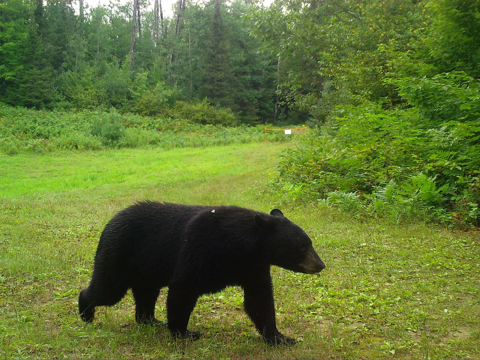 Clam Lake, WI Black Bear