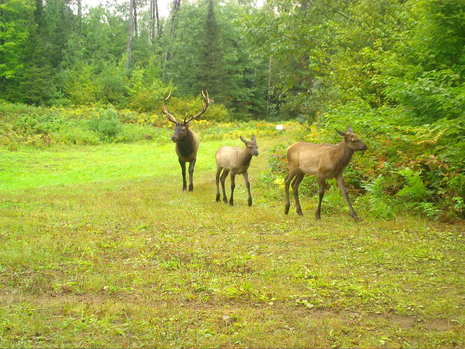 Clam Lake, WI Elk Photo